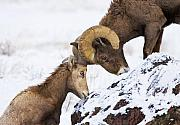Bighorn Sheep Posters - An Uphill Battle Poster by Mike  Dawson