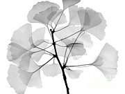 Medicinal Plants Framed Prints - An X-ray Of Ginko Leaves Framed Print by Ted Kinsman