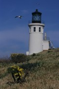 Anacapa Lighthouse And Western Gulls Print by Don Kreuter