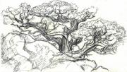Wyoming Drawings - Ancient Cedar field sketch by Dawn Senior-Trask