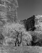 Grand Canyon Of Arizona Posters - Ancient Cottonwood Tree- Canyon de Chelly Poster by Arni Katz