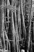 Apalachicola Prints - Ancient Cypress Print by Toni Hopper