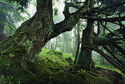 Fir Trees Photos - Ancient Fir Trees In Forest by Norbert Rosing