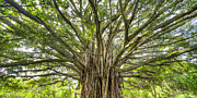 Banyan Tree Framed Prints - Ancient Maui Banyan Tree 2 Framed Print by Dustin K Ryan