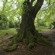 Neil Thomasson - Ancient Oak New Forest