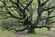 Quercus Framed Prints - Ancient Oak Tree (quercus Sp.) Framed Print by Adrian Bicker