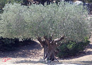 Colette Framed Prints - Ancient Old Olive Tree in South France Framed Print by Colette Hera  Guggenheim