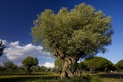 (olea Europaea) Photos - Ancient Olive (olea Europaea) Trees by Bob Gibbons