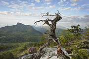 Ancient Pine On Hawksbill Mountain Print by Keith Clontz