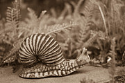 Snail Framed Prints - Ancient Snail Framed Print by Douglas Barnett