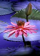 Water Lily Digital Art - And the Day Came.... by Holly Kempe
