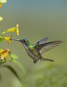 Feeding Birds Framed Prints - Andean Emerald Hummingbird Feeding Framed Print by Tim Fitzharris