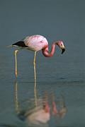 Flamingos Prints - Andean Flamingo Phoenicopterus Andinus Print by Pete Oxford