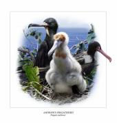 Wwf Framed Prints - ANDREWS FRIGATEBIRD Fregata andrewsi 1 Framed Print by Owen Bell