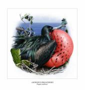 Wwf Framed Prints - ANDREWS FRIGATEBIRD Fregata andrewsi 3 Framed Print by Owen Bell