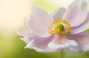 Flare-up Prints - Anemone Haze Print by Jacky Parker