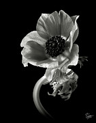 Flower Photos Posters - Anemone in Black and White Poster by Endre Balogh