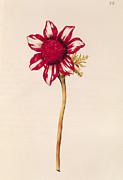 Anemone Print by Nicolas Robert