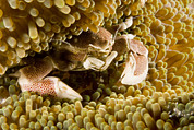 Malapascua Island Photos - Anemone Or Porcelain Crab In Its Host by Tim Laman