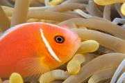 Partnership Posters - Anemonefish Poster by Dave Fleetham - Printscapes