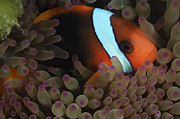 Sea Anemone Posters - Anemonefish In Purple Tip Anemone Poster by Todd Winner
