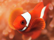 Red Sea Anemonefish Posters - Anemonefish Poster by MotHaiBaPhoto Prints