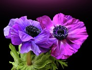 Stamen Photos - Anemonen Couple by Gitpix