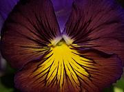 Purple Pansy Prints - Angel Face Print by Joyce Hutchinson