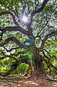 Alive Photo Posters - Angel Oak - Sun Rays Poster by Drew Castelhano