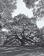 Old Pyrography Prints - Angel Oak Print by Dave Stegmeir