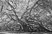 Low Country Framed Prints - Angel Oak II Framed Print by Drew Castelhano