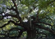 Spanish Moss Photos - Angel Oak by Leslie Revels Andrews