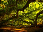 Angel Oak Photos - Angel Oak Limbs 2 by Susanne Van Hulst