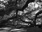 Old Tree In Charleston Prints - Angel Oak Limbs BW Print by Susanne Van Hulst