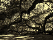 Light And Shadow Art - Angel Oak Limbs Sepia by Susanne Van Hulst