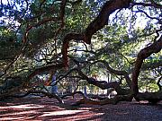 Old Tree In Charleston Prints - Angel Oak side view Print by Susanne Van Hulst