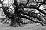 Old Tree Photograph Framed Prints - Angel Oak Tree 2009 Black and White Framed Print by Louis Dallara
