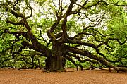 Live Oak Tree Prints - Angel Oak Tree 2009 Print by Louis Dallara