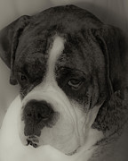 Boxer Photo Framed Prints - Angelic Boxer Framed Print by DigiArt Diaries by Vicky Browning