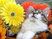 Kitteh Prints - Angelic Kitten with Head Upwards - Curious Kitty Cat in Gerbera Flower Basket - Thanksgiving Season Print by Chantal PhotoPix