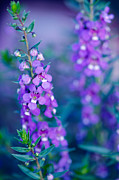 Serena Prints - Angelonia Serena Print by Betty LaRue