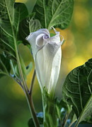 Moon Flower Prints - Angels Trumpet Bud Print by Angie Vogel