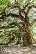 Alive Photo Posters - Angle Oak - Johns Island  Poster by Drew Castelhano