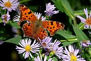 Angle Originals - Angle Wing Butterfly on Aster by Alan Lenk