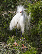 Breeding Posters - Angry Bird Snowy Egret in Breediing Plumage Poster by Bill Swindaman