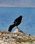 Crow Image Photos - Angry Johnny by Bryan Steffy