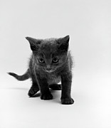 Grey Originals - Angry Kitten by Jan Faul