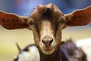 Jennifer Lamanca Kaufman - Anguilla Goat 2