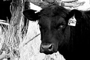 Black Angus Framed Prints - Angus Cow in Black and White Framed Print by Tam Graff