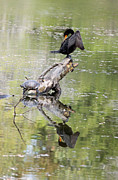 Anhinga Framed Prints - Anhinga and Turtle Framed Print by Suzanne Gaff